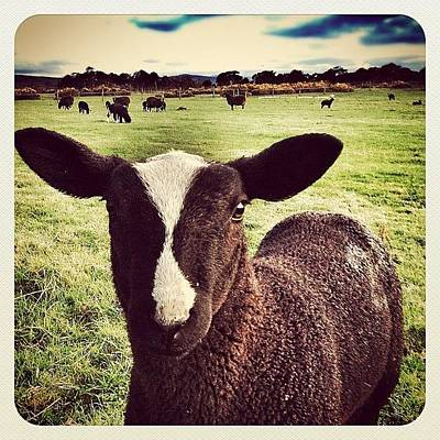 Sheep Photograph - Leave While You Can... #sheep #lamb by Robert Campbell