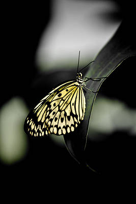 Butterfly Photograph - Lemon Yellow Butterfly by Hakon Soreide