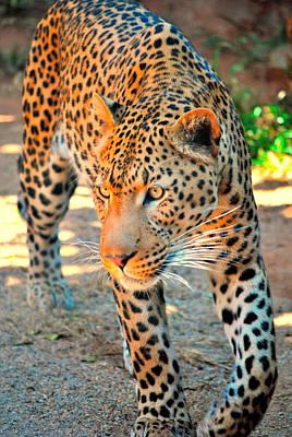 Leopard Photograph - Leopard Front by Brandon Havenga
