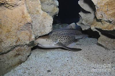 Leopard Shark, Blue Zoo Aquarium Print by Mathieu Meur