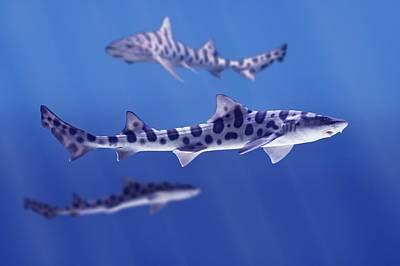 Leopard Sharks Triakis Semifasciata Print by Don Hammond
