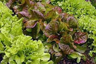Lettuce Photograph - Lettuce by Bjorn Svensson