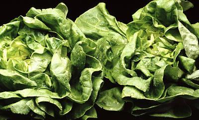 Lettuce Photograph - Lettuces by Victor De Schwanberg
