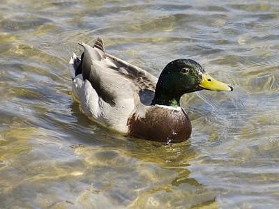 Hen Photograph - Like Water Off A Ducks Back by LeeAnn McLaneGoetz McLaneGoetzStudioLLCcom
