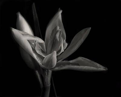 Florida Flowers Digital Art - Lily by Mario Celzner