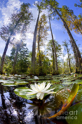 Cypress Swamp Photograph - Lily Pad Flower In Cypress Swamp Forest by Dustin K Ryan