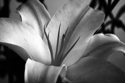Petals Photograph - Lily by Sumit Mehndiratta