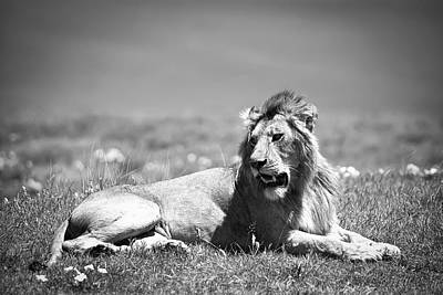 Lion Photograph - Lion King In Black And White by Sebastian Musial