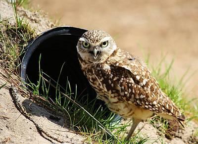 Little Burrowing Owl Print by Paulette Thomas