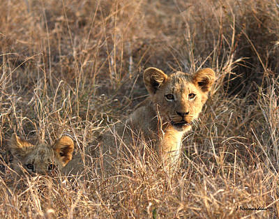Photograph - Little Cubs by Sarah  Lalonde