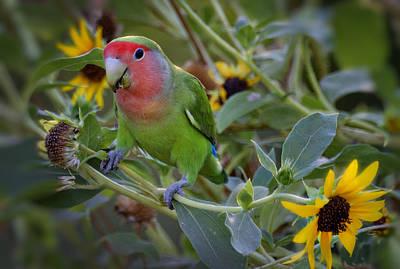 Peach-faced Lovebird Photograph - Little Lovebird by Saija  Lehtonen