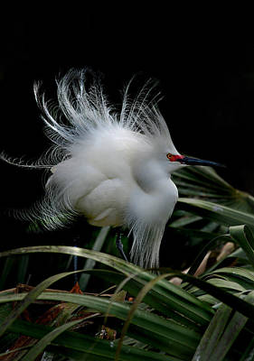 Of Birds Photograph - Little Snowy by Skip Willits