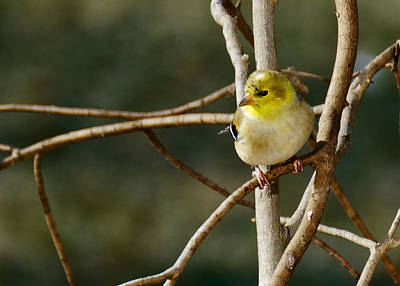 Black Photograph - Little Yellow Bird Song Finch by LeeAnn McLaneGoetz McLaneGoetzStudioLLCcom