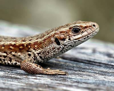 Norway Photograph - Lizard by Svein Nordrum
