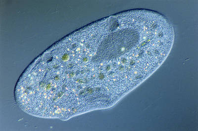 Lm Of Of A Single Paramecium Sp Print by Power And Syred