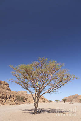Lone Acacia Tree In The Sinai Desert Print by Roberto Morgenthaler