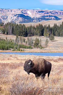 Yellowstone National Park Digital Art - Lone Buffalo by Cindy Singleton