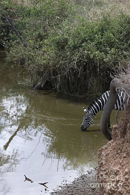 Lone Zebra At The Drinking Hole Print by Darcy Michaelchuk