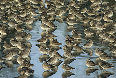 Dowitcher Photograph - Long Billed Dowitcher Flock Sleeping by Tim Fitzharris