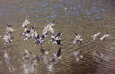 Dowitcher Photograph - Long-billed Dowitchers Limnodromus by Bob Gibbons