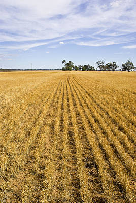 Bread Line Photograph - Long Rows Of Golden Wheat Sprout by Jason Edwards