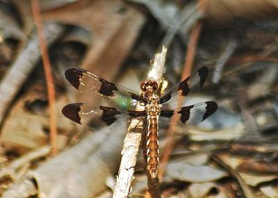 Whitetail Photograph - Long Tailed Skimmer 8695 3318 by Michael Peychich