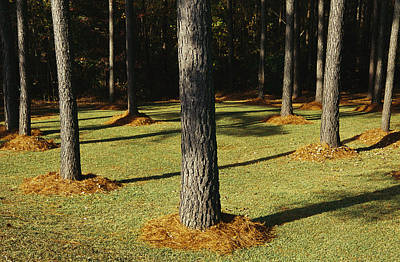 Longleaf Pine Trees Mulched With Pine Print by Raymond Gehman