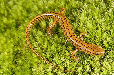 Salamanders Photograph - Longtail Salamander Eurycea Longicauda by Jack Goldfarb