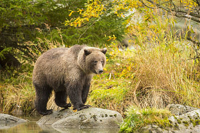 Prints Of Alaska Photograph - Looking For A Meal In The Autumn by Tim Grams
