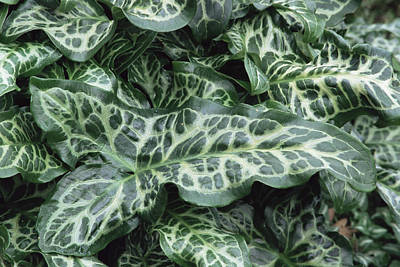 Lords And Ladies (arum Italicum 'pictum') Print by Archie Young