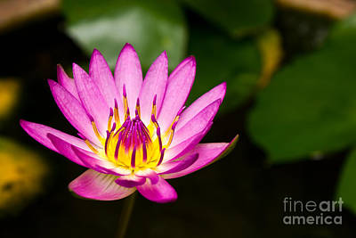 Lotus Print by Mongkol Chakritthakool