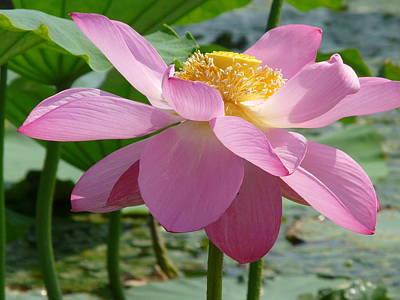 Lotus  Print by Susan McNamara