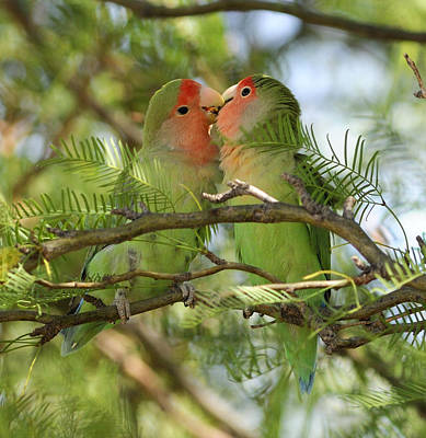 Rosy-faced Lovebird Photograph - Love Birds by Christian Heeb