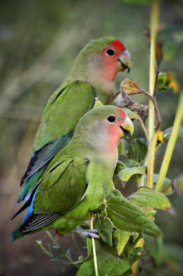 Peach-faced Lovebird Photograph - Lovebird Couple  by Saija  Lehtonen