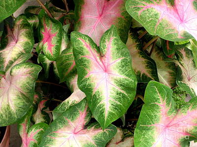 Calladiums Photograph - Lovely Leaves by Byron Varvarigos