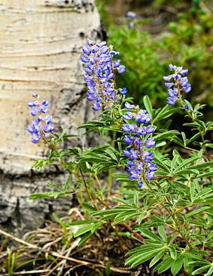 Flowers Photograph - Lovely Lupine by Marilyn Hunt