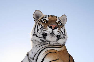 Of Felines Photograph - Low Angle View Of A Tiger (panthera Tigris) With Blue Skies Behind Tiger Canyon Philippolis, Free State Province, South Africa by JV Images