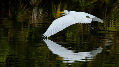 Low Flying Reflection Of Snowy Egret Print by Andres Leon