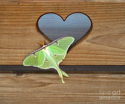 Floral Photograph - Luna Moth In Love by The Kepharts