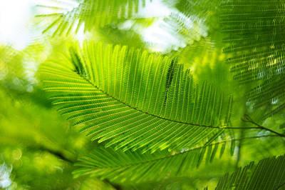 Luscious Green Light. Acacia Tree Print by Jenny Rainbow