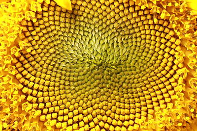 Y120907 Photograph - Macro Image Of Sunflower by Eyesplash images are created in Canada