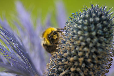 Macro Of A Bee On A Thistle Print by Zoe Ferrie