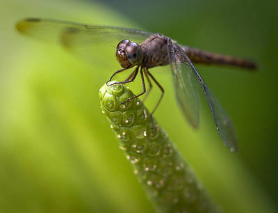 Macro Of A Dragonfly - Focus Stacked Image Print by Zoe Ferrie