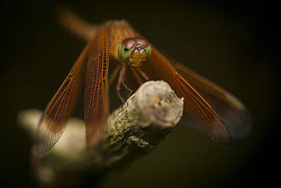 Macro Photograph Of A Dragonfly On A Twig Print by Zoe Ferrie