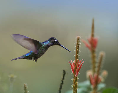 Magnificent Hummingbird - Eugenes Fulgens Photograph - Magnificent Hummingbird Male Foraging by Tim Fitzharris