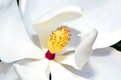 Magnolia Bloom Print by Susan Leggett
