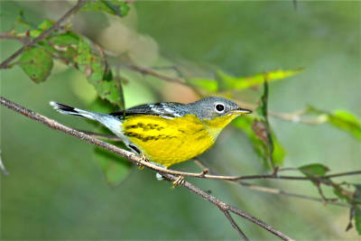 Magnolia Warbler Photograph - Magnolia During Fall by Alan Lenk