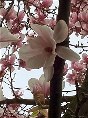 Magnolia Hang On Branch Print by Debra     Vatalaro