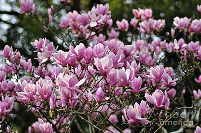 Magnolia In Full Bloom Print by Kaye Menner