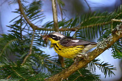 Magnolia Warbler Photograph - Magnolia Warbler by Bruce J Robinson